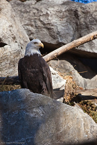 Bald Eagle, Calgary Zoo Nov. 1
