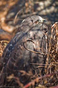 Red Tailed Hawk, Calgary Zoo Nov. 1