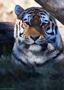 Siberian Tiger, Calgary Zoo Nov. 1