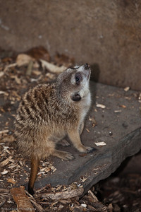 Slender Tailed Meerkat, Calgary Zoo Nov. 1