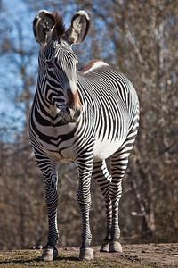 Grevy's Zebra, Calgary Zoo Nov. 1