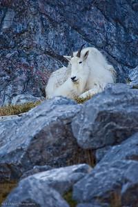 Mountain Goat, Calgary Zoo Nov. 1