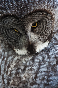 Great Grey Owl, Calgary Zoo Nov. 1