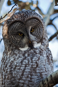 Great Grey Owl, Calgary Zoo Nov. 1