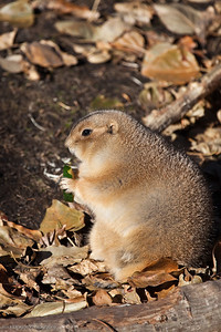 Black Tailed Prairie Dog, Calgary Zoo Nov. 1