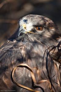 Red Tailed Hawk, Calgary Zoo Nov. 1