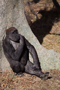Western Lowland Gorilla, Calgary Zoo Oct.31