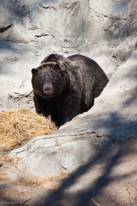 Grizzly Bear, Calgary Zoo Oct.31