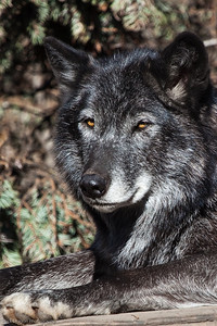 Grey Wolf, Calgary Zoo Oct.31