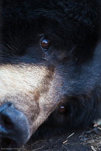 Black Bear, Calgary Zoo Oct.31