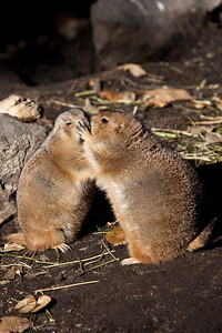 Black Tailed Prairie Dog, Calgary Zoo Oct.31