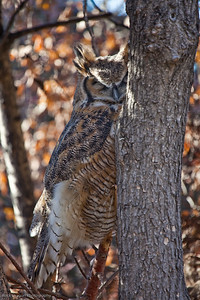 Great Horned Owl, Calgary Zoo Oct.31