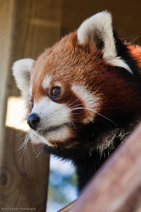 Red Panda, Calgary Zoo Nov. 14
