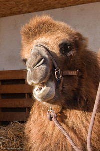Bactrian Camel, Calgary Zoo Nov. 14