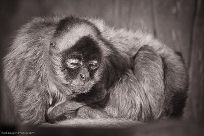 Black Handed Spider Monkey, Calgary Zoo, Sept. 27