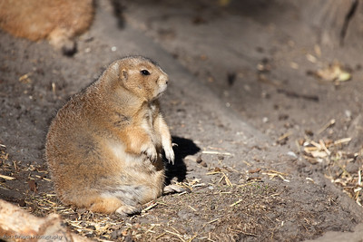 Black Tailed Prairie Dog, Calgary Zoo, Sept. 27