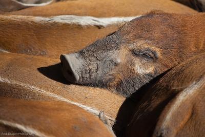 Red River Hog's, Calgary Zoo, Sept. 27