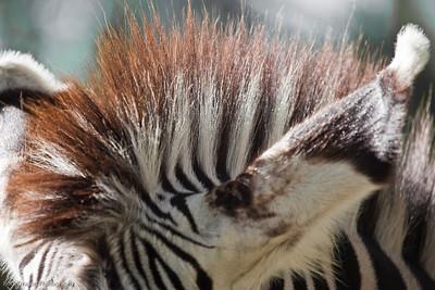 Grevy's Zebra, Calgary Zoo, Sept. 27
