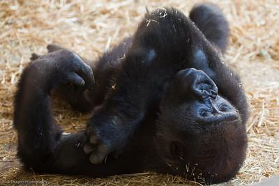 Western Lowland Gorilla, Calgary Zoo, Sept. 27