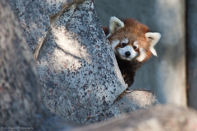 Red Panda, Calgary Zoo, Sept. 27