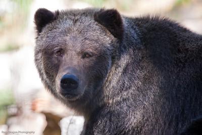 Grizzly Bear, Calgary Zoo, Sept. 27