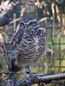 Burrowing Owl, Calgary Zoo, Sept. 27