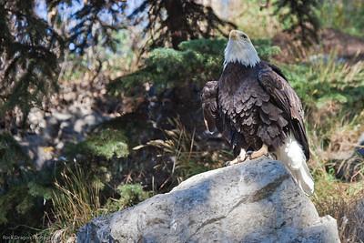 Bald Eagle, Calgary Zoo, Sept. 27