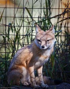 Swift Fox, Calgary Zoo, Sept. 27