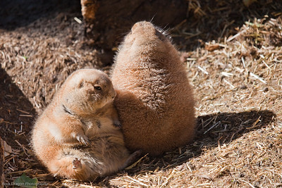 Black Tailed Prairie Dogs, Calgary Zoo, Sept. 27