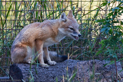 Swift Fox, Calgary Zoo, Sept. 27