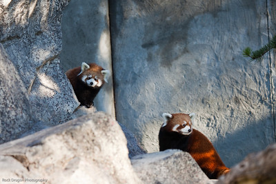 Red Panda's, Calgary Zoo, Sept. 27