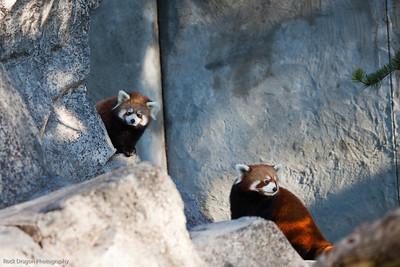 Red Panda's, Calgary Zoo, Sept. 27