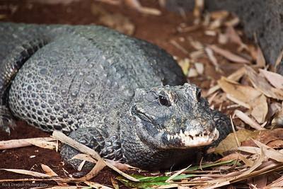 West African Dwarf Crocodile, Calgary Zoo, Sept. 27