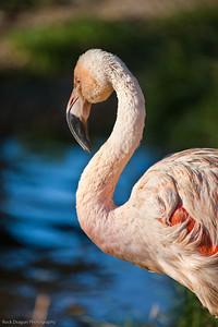 Chilean Flamingo, Calgary Zoo, Sept. 27