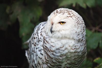 Snowy Owl, Calgary Zoo, Sept. 30