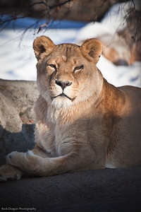 African Lion, Calgary Zoo February 20