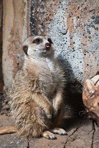 Slender Tailed Meerkat, Calgary Zoo April 11