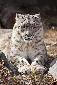 Snow Leopard, Calgary Zoo April 11