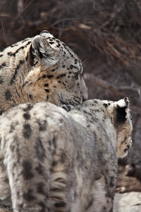 Snow Leopards, Calgary Zoo April 11