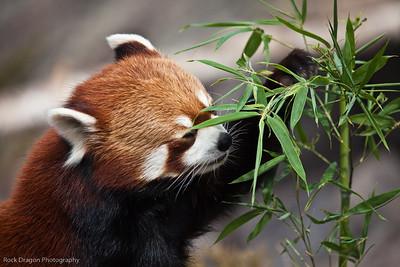Red Panda, Calgary Zoo April 11
