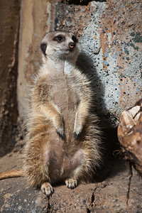 Slender Tailed Meerkat, Calgary Zoo April 11