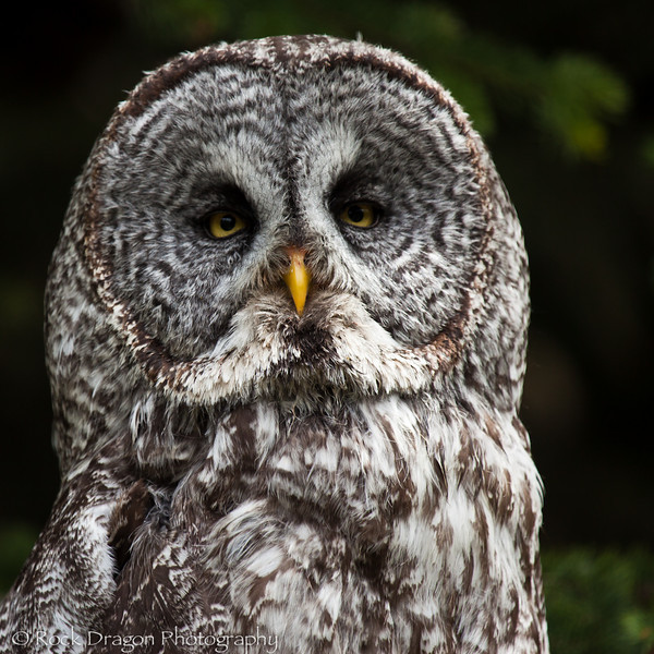 A Great Grey Owl at the Calgary Zoo.
