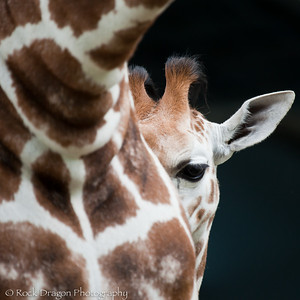 A baby Reticulated Giraffe and it's mother at the Calgary Zoo.