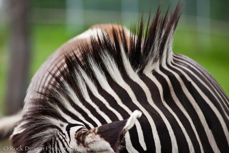 Grevy's Zebra's at the Calgary Zoo.
