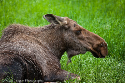 A Moose at the Calgary Zoo.