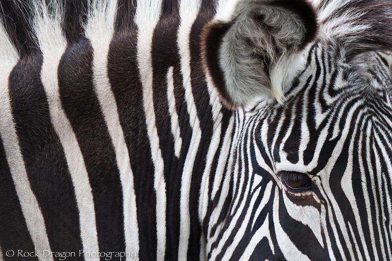 A Grevy's Zebra at the Calgary Zoo.