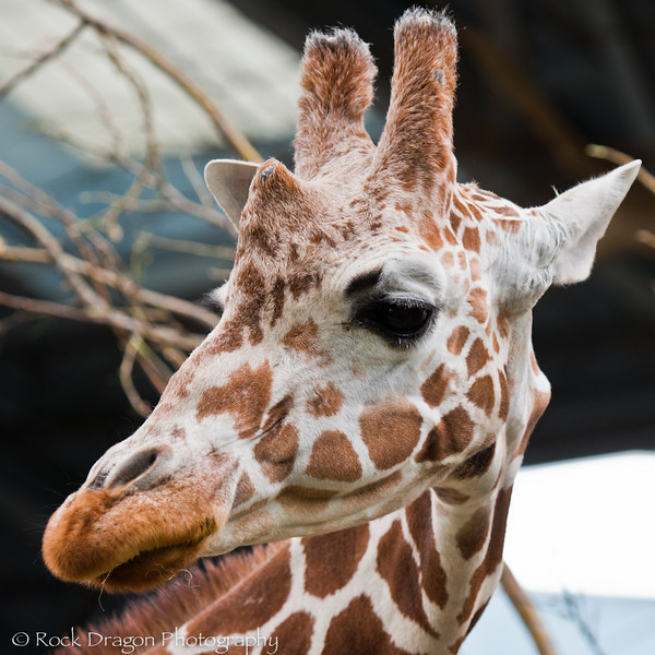 A Reticulated Giraffe at the Calgary Zoo.