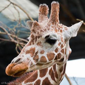 A Reticulated Giraffe at the Calgary Zoo.