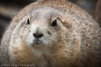 A Prairie Dog at the Calgary Zoo.