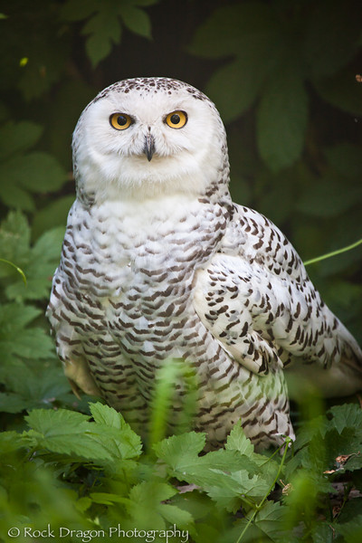 A Snowy Owl at the Calgary Zoo.